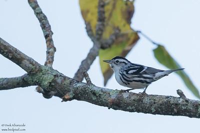 Black-and-white Warbler - Hidden Valley, Belize