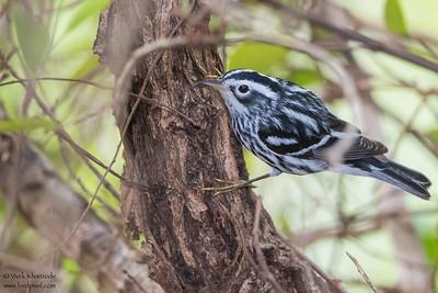Black-and-White Warbler - Caye Caulker, Belize
