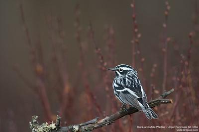 Black-and-white Warbler - Upper Peninsula, MI, USA