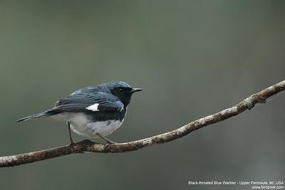 Black-throated Blue Warbler - Upper Peninsula, MI, USA