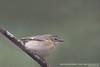 Black-throated Blue Warbler - Female - Upper Peninsula, MI, USA