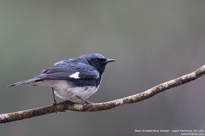 Black-throated Blue Warbler - Upper Peninsula, MI, USA