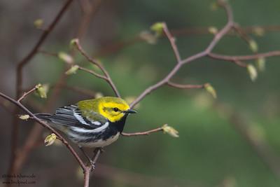 Black-throated Green Warbler - Male - Upper Peninsula, MI, USA
