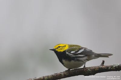 Black-throated Green Warbler - Grayling, MI, USA
