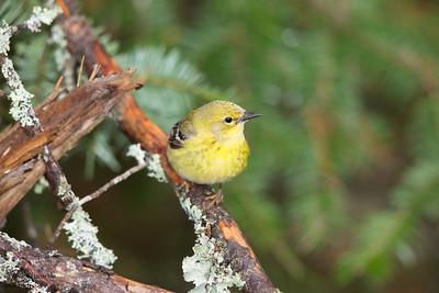 Black-throated Green Warbler - Female - Upper Peninsula, MI, USA