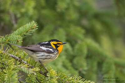 Blackburnian Warbler - Upper Peninsula, MI, USA