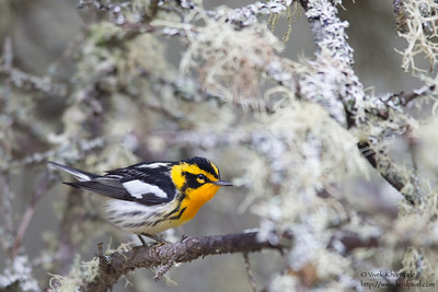 Blackburnian Warbler - Male - Upper Peninsula, MI, USA