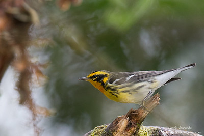 Blackburnian Warbler - Male - San Isidro Lodge, Ecuador