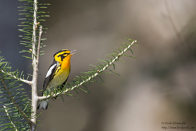 Blackburnian Warbler - Near Mio, MI, USA