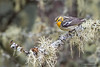 Blackburnian Warbler - Female - Upper Peninsula, MI, USA