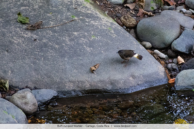 Buff-rumped Warbler - Cartago, Costa Rica