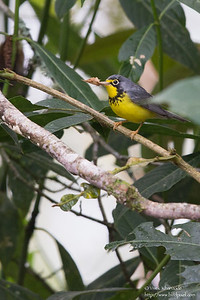 Canada Warbler - Record - San Isidro Lodge, Ecuador