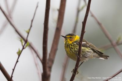 Cape May Warbler - Upper Peninsula, MI, USA