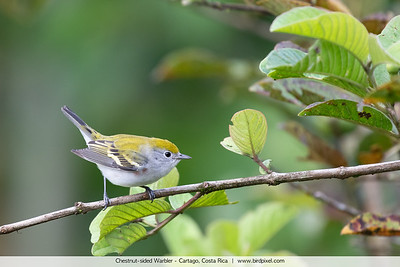 Chestnut-sided Warbler - Cartago, Costa Rica