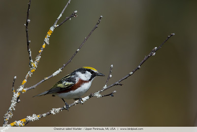 Chestnut-sided Warbler - Upper Peninsula, MI, USA