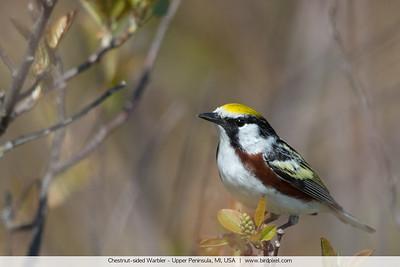 Chestnut-sided Warbler - Upper Peninsula, MI, USA