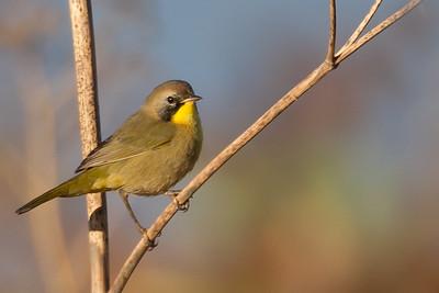 Common Yellow-throat - Alviso, CA, USA
