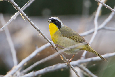Common Yellowthroat - Sweetwater Wetlands, Tucson, AZ, USA