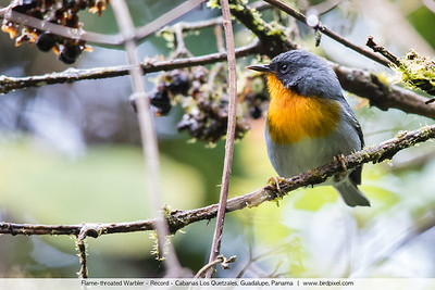 Flame-throated Warbler - Record - Cabanas Los Quetzales, Guadalupe, Panama