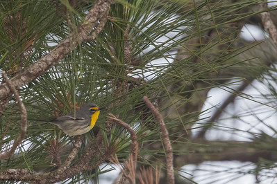 Grace's Warbler - Record - Crooked Tree, Belize