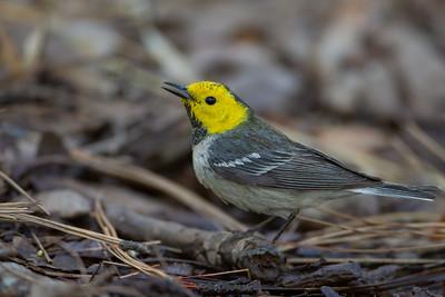 Hermit Warbler - Carr Canyon, AZ, USA