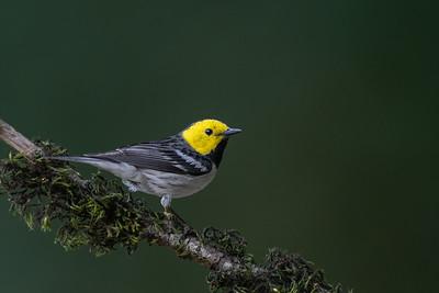 Hermit Warbler - Santa Clara County, CA, USA