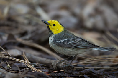 Hermit Warbler - Carr Canyon, Nr. Sierra Vista, AZ, USA