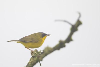 Masked Yellowthroat - Lomas de Lachay, Peru