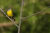 Nashville Warbler - Upper Peninsula, MI, USA
