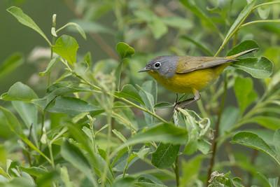 Nashville Warbler - Plumas County, CA, USA