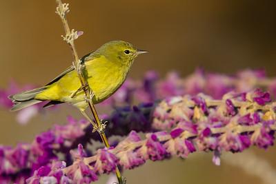 Orange-crowned Warbler - Vasona County Park, Los Gatos, CA, USA