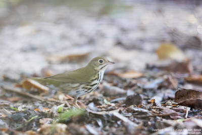 Ovenbird - Record - Caye Caulker, Belize