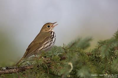 Ovenbird - Upper Peninsula, MI, USA