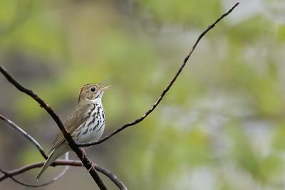 Ovenbird - Mt. Pleasant, MI, USA