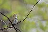 Ovenbird - Mt. Pleasant, MI, USA