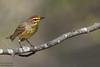 Palm Warbler - Upper Peninsula, MI, USA