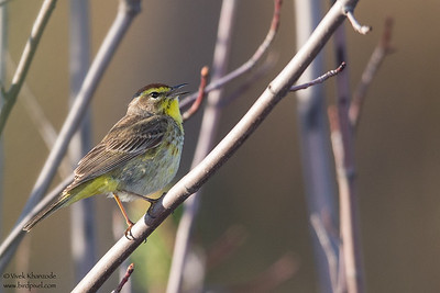 Palm Warbler - Upper Peninsula, MI, USA