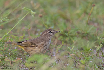 Palm Warbler - Record - Caye Caulker, Belize