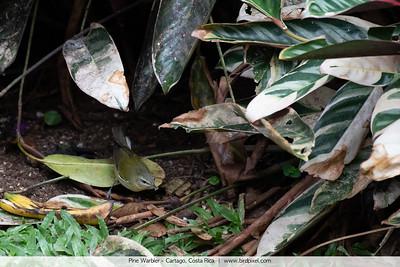Pine Warbler - Cartago, Costa Rica