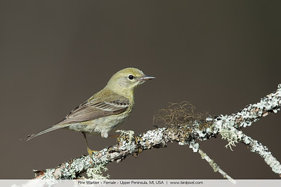 Pine Warbler - Female - Upper Peninsula, MI, USA