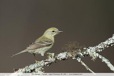 Pine Warbler - Female - Upper Peninsula, MI, USA