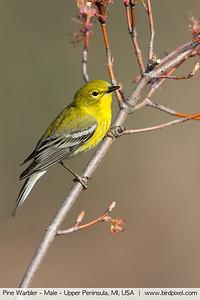 Pine Warbler - Male - Upper Peninsula, MI, USA