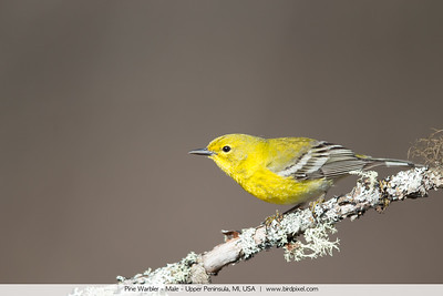 Pine Warbler - Male - Upper Peninsula, MI, USA