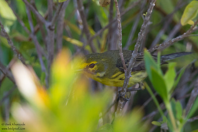 Prairie Warbler - Record - Caye Caulker, Belize