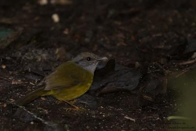 Russet-crowned Warbler - Record - Tandayapa Lodge, Ecuador
