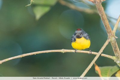 Slate-throated Redstart - Record - Mindo, Ecuador
