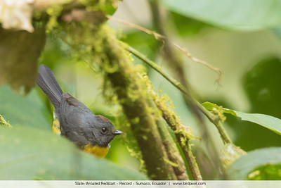Slate-throated Redstart - Record - Sumaco, Ecuador