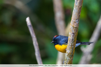 Slate-throated Redstart - San Jose, Costa Rica