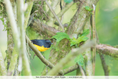 Slate-throated Redstart -  Mindo, Ecuador