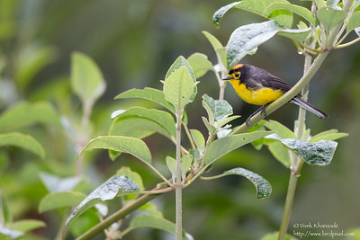 Spectacled Redstart - Guango Lodge, Ecuador